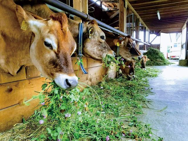 乳牛の写真